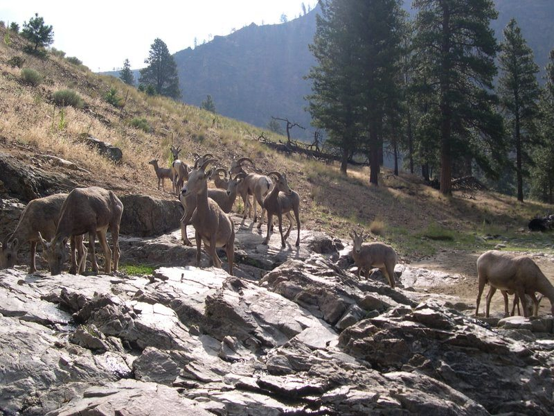 Bighorn Sheep at the Hot Springs