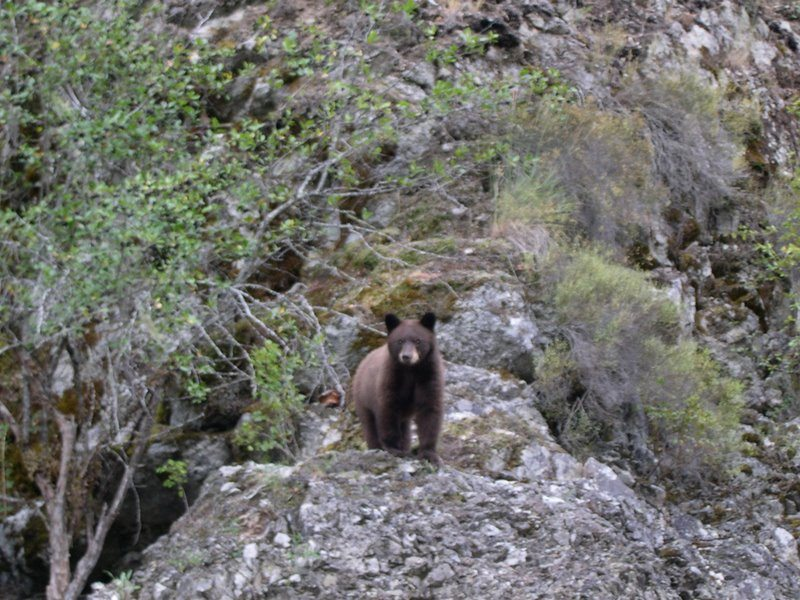 Bear on the Selway River